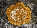 Variospora flavescens 232783.jpg