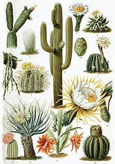 Cactus family of mostly succulent plants, adapted to dry environments