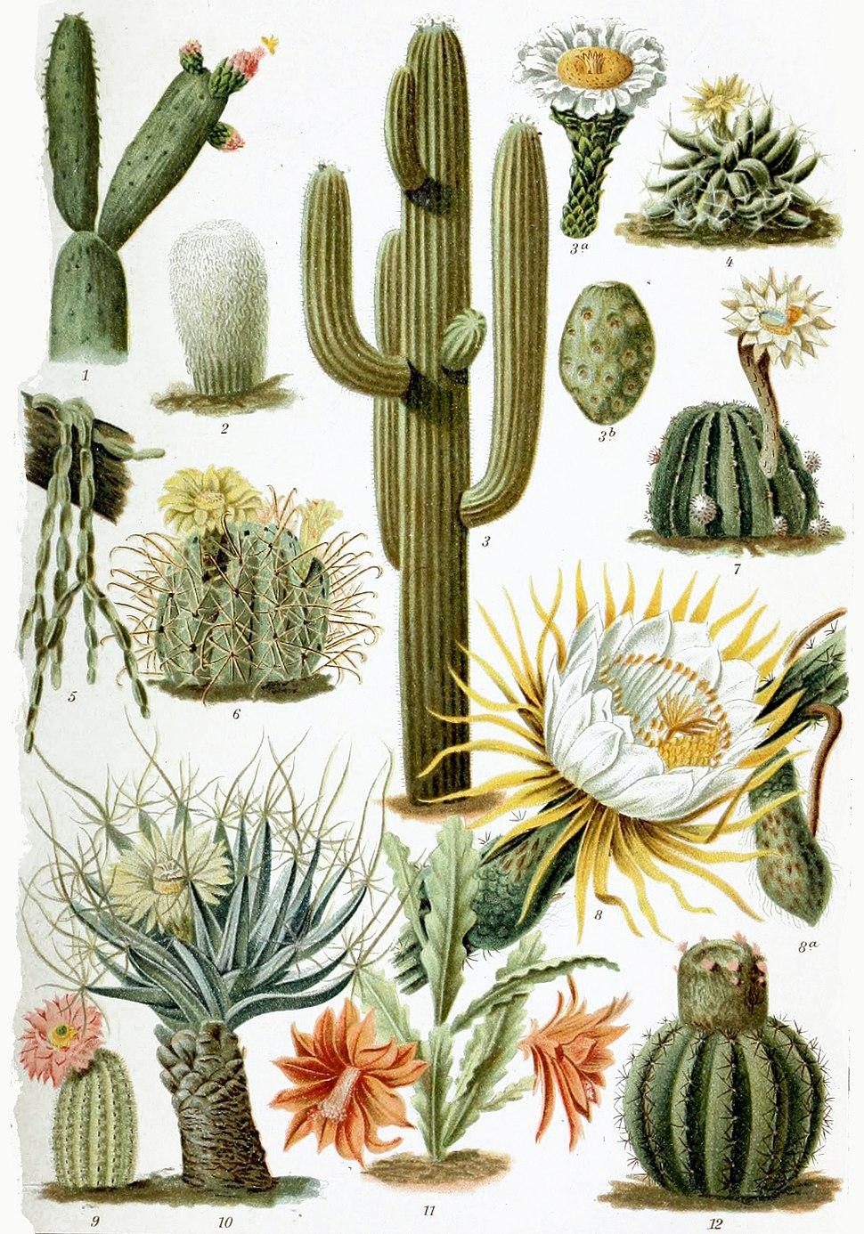 Various Cactaceae