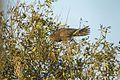 Vasa Parrot - Reniala Reserve - Ifaty - Madagascar (15108459538).jpg
