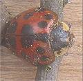 Veelkleurig Aziatisch lieveheersbeestje kop (Harmonia axyridis).jpg