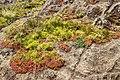 Vegetation on a rock - Chinamada - Tenerife.jpg