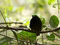 Velvet Asity (Philepitta castanea), Ranomafana National Park, Madagascar (13975469773).jpg