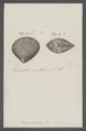 Venus perdix - - Print - Iconographia Zoologica - Special Collections University of Amsterdam - UBAINV0274 077 11 0012.tif