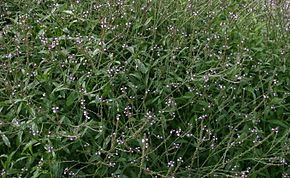 Description de l'image  Image:Verbena-officinalis.JPG .