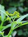 Verbesina alternifolia.JPG