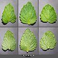 Veronica chamaedrys subsp. chamaedrys sl12.jpg