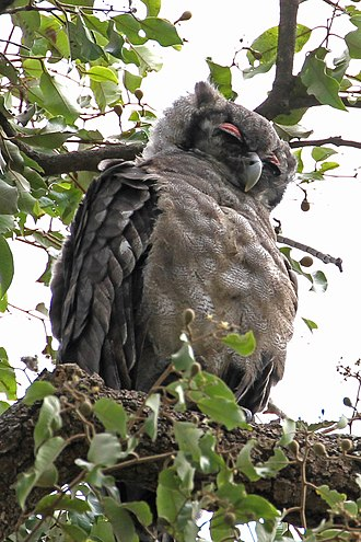 Verreaux's eagle-owl - The pink eyelids of a Verreaux's eagle-owl are quite conspicuous when it is resting.
