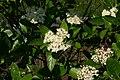 Viburnum nudum flowers 8601.JPG