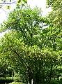 Viburnum odoratissimum var awabuki4.jpg