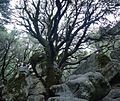 View of tree at Castle Rock State Park in California.JPG
