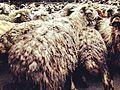 Village Blagodarnoe,Sheeps.jpg
