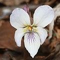 Viola eizanensis (flower s6).jpg