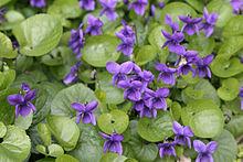 Violet (color) - Wikipedia