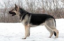 East European Shepherd Wikipedia