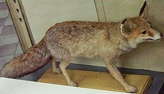 Turkmenian fox subspecies of mammal