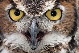 WR - Great Horned Owl 3 (5761978140)