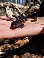 WW Spotted Salamander TS.jpg