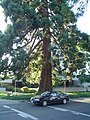 Waldo Park redwood tree near car Salem Oregon.JPG