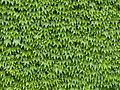 Wall of Ivy Leaves 1.jpg