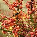 Wasp on Mahonia blossom (29249104513).jpg