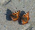 Wernigerode Schmetterlinge.jpg