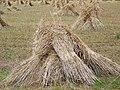 Wheat sheaves near King's Somborne - geograph.org.uk - 889992.jpg