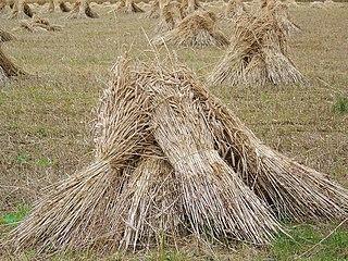 Sheaf (agriculture) bundle of grain