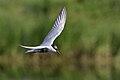 Whiskered Tern (Chlidonias hybrida) (27869167359).jpg