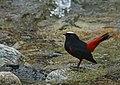 White-capped Redstart (Chaimarrornis leucocephalus) (16406776185).jpg