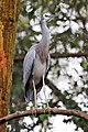 White-faced Heron - melbourne zoo.jpg