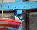 White-necked Jacobin. Florisuga mellivora (29150290078).jpg