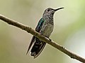 White-necked Jacobin female RWD3.jpg