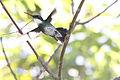 White-throated Hummingbird (Leucochloris albicollis) (15774011129).jpg
