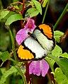 White Orange Tip Ixias marianne by Dr. Raju Kasambe DSCN9162.jpg