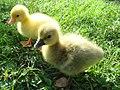 White and gray Sebastopol goslings.jpg