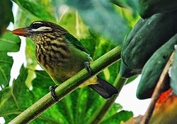 White cheeked barbet.jpg