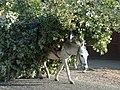 White donkey overload 1380059 nevit.jpg