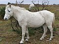 White pony at Turf Hill, New Forest - geograph.org.uk - 282075.jpg