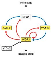 Model of the genetic network regulating the white-opaque switch. White and gold boxes represent genes enriched in the white and opaque states, respectively. Blue lines represent relationships based on genetic epistasis. Red lines represent Wor1 control of each gene, based on Wor1 enrichment in chromatin immunoprecipitation experiments. Activation (arrowhead) and repression (bar) are inferred based on white- and opaque-state expression of each gene.