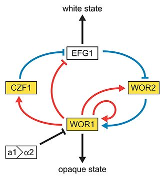 Candida albicans - In this model of the genetic network regulating the white-opaque switch, the white and gold boxes represent genes enriched in the white and opaque states, respectively. The blue lines represent relationships based on genetic epistasis. Red lines represent Wor1 control of each gene, based on Wor1 enrichment in chromatin immunoprecipitation experiments. Activation (arrowhead) and repression (bar) are inferred based on white- and opaque-state expression of each gene.