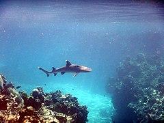 Whitetip reef shark, Kuata, Yasawa, Fiji (2) - August 2016.jpg