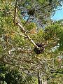 Widdringtonia nodiflora KirstenboshBotGard09292010E.JPG