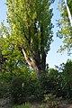 Wiener Naturdenkmal 97 - Pyramidenpappel (Döbling) f.JPG