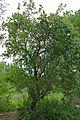 Wild Pear (Dombeya rotundifolia) (16733203574).jpg