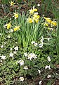 Wild daffodils and wood anemones - geograph.org.uk - 730737.jpg