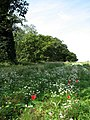 Wild flowers in field adjacent to The Avenues - geograph.org.uk - 543338.jpg
