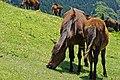 Wild horse of cape toi. - 都井岬の野生馬 - panoramio (31).jpg