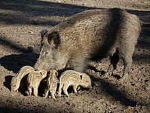 Wildschweinbache mit vier ihrer Frischlinge.JPG