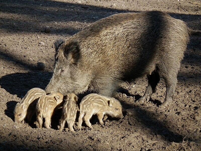 File:Wildschweinbache mit vier ihrer Frischlinge.JPG